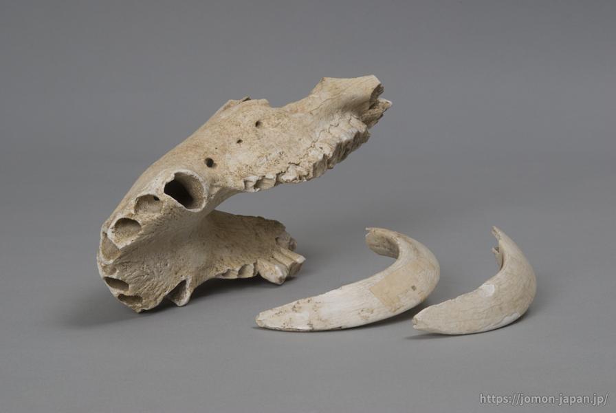 二ツ森貝塚 イノシシ下顎骨・牙