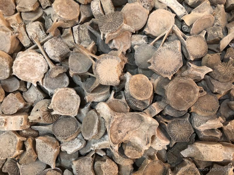 入江貝塚 海棲哺乳類の椎骨