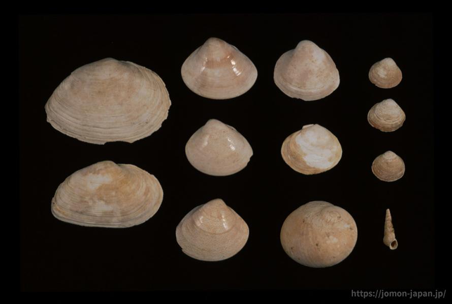 長七谷地貝塚 出土した貝殻