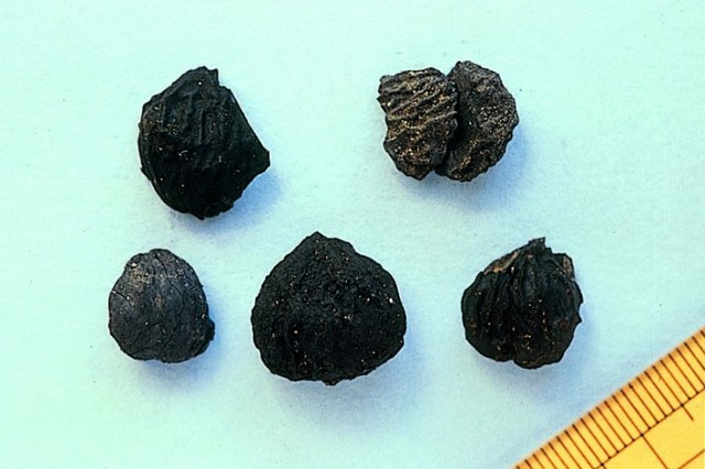 Excavated chestnuts, Ofune Site