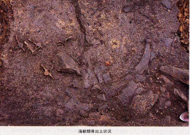 出土した海獣類の骨